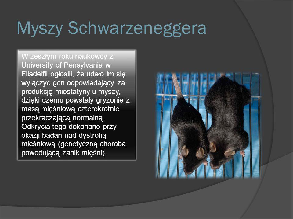 Myszy Schwarzeneggera