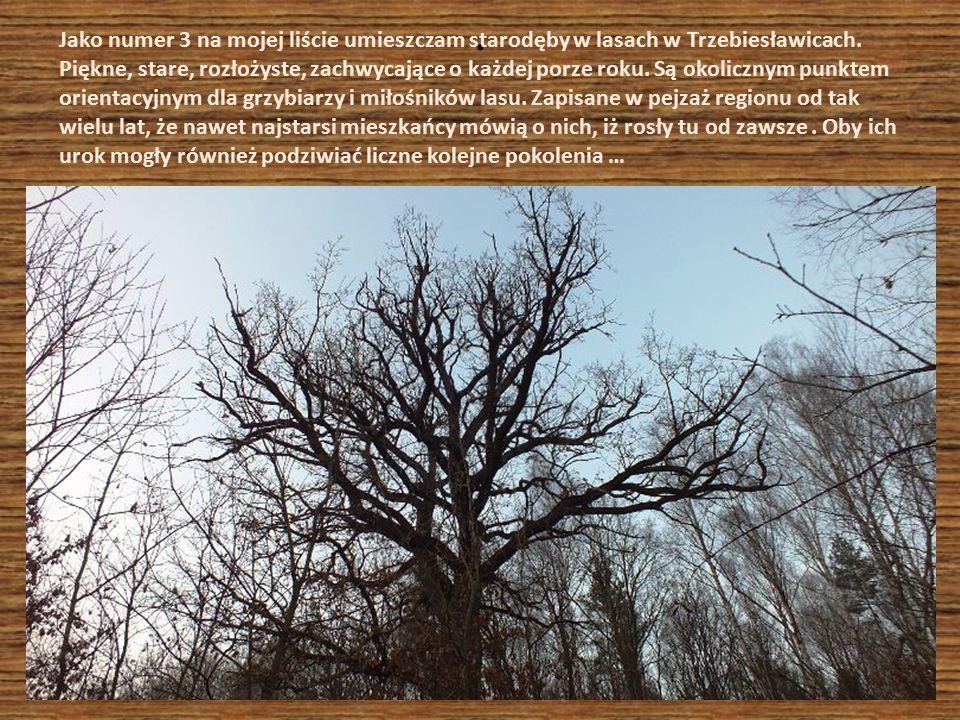 Jako numer 3 na mojej liście umieszczam starodęby w lasach w Trzebiesławicach. Piękne, stare, rozłożyste, zachwycające o każdej porze roku. Są okolicznym punktem orientacyjnym dla grzybiarzy i miłośników lasu. Zapisane w pejzaż regionu od tak wielu lat, że nawet najstarsi mieszkańcy mówią o nich, iż rosły tu od zawsze . Oby ich urok mogły również podziwiać liczne kolejne pokolenia …