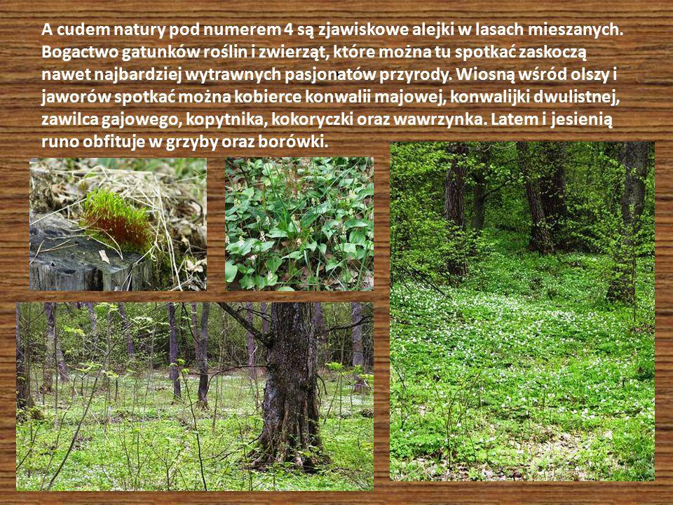 A cudem natury pod numerem 4 są zjawiskowe alejki w lasach mieszanych