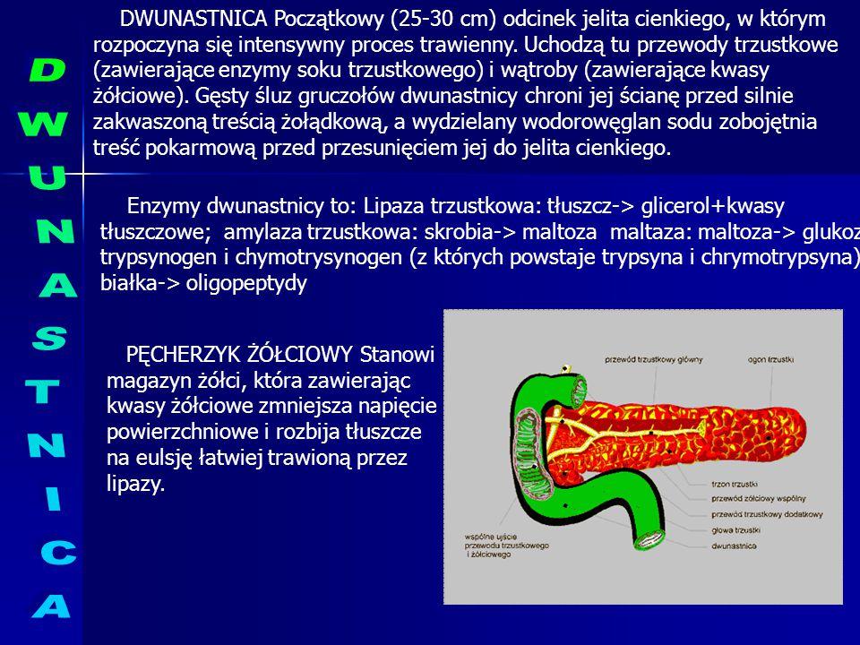 DWUNASTNICA Początkowy (25-30 cm) odcinek jelita cienkiego, w którym rozpoczyna się intensywny proces trawienny. Uchodzą tu przewody trzustkowe (zawierające enzymy soku trzustkowego) i wątroby (zawierające kwasy żółciowe). Gęsty śluz gruczołów dwunastnicy chroni jej ścianę przed silnie zakwaszoną treścią żołądkową, a wydzielany wodorowęglan sodu zobojętnia treść pokarmową przed przesunięciem jej do jelita cienkiego.
