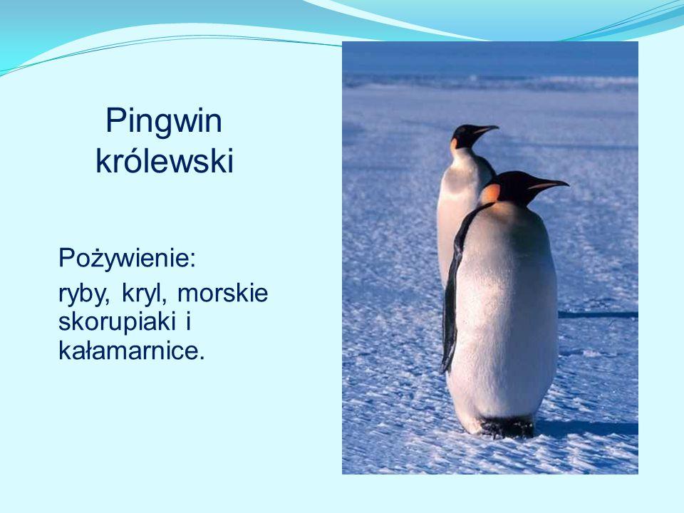 Pingwin królewski Pożywienie: