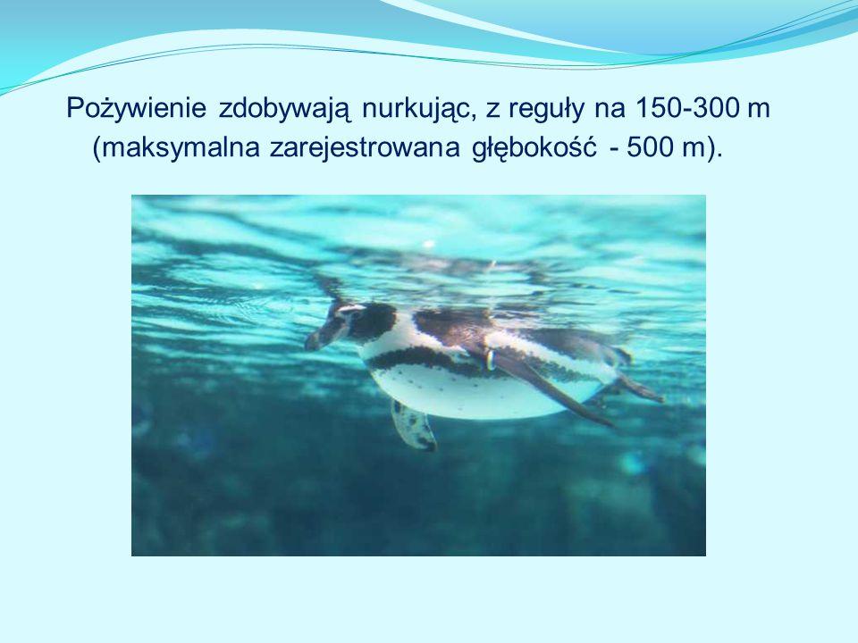 Pożywienie zdobywają nurkując, z reguły na 150-300 m (maksymalna zarejestrowana głębokość - 500 m).