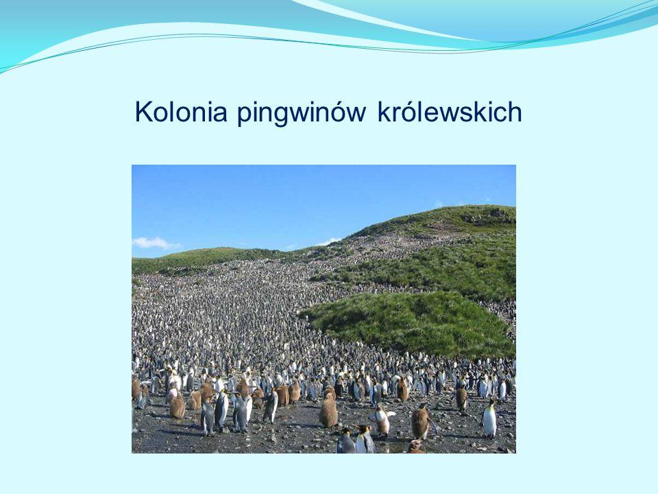 Kolonia pingwinów królewskich