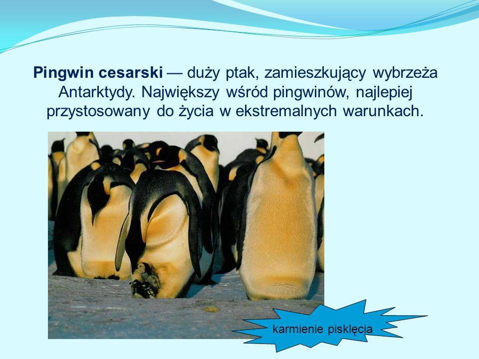 Pingwin cesarski — duży ptak, zamieszkujący wybrzeża Antarktydy