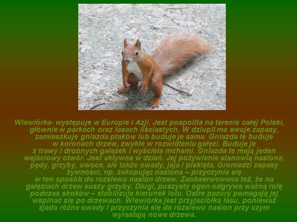 Wiewiórka- występuje w Europie i Azji