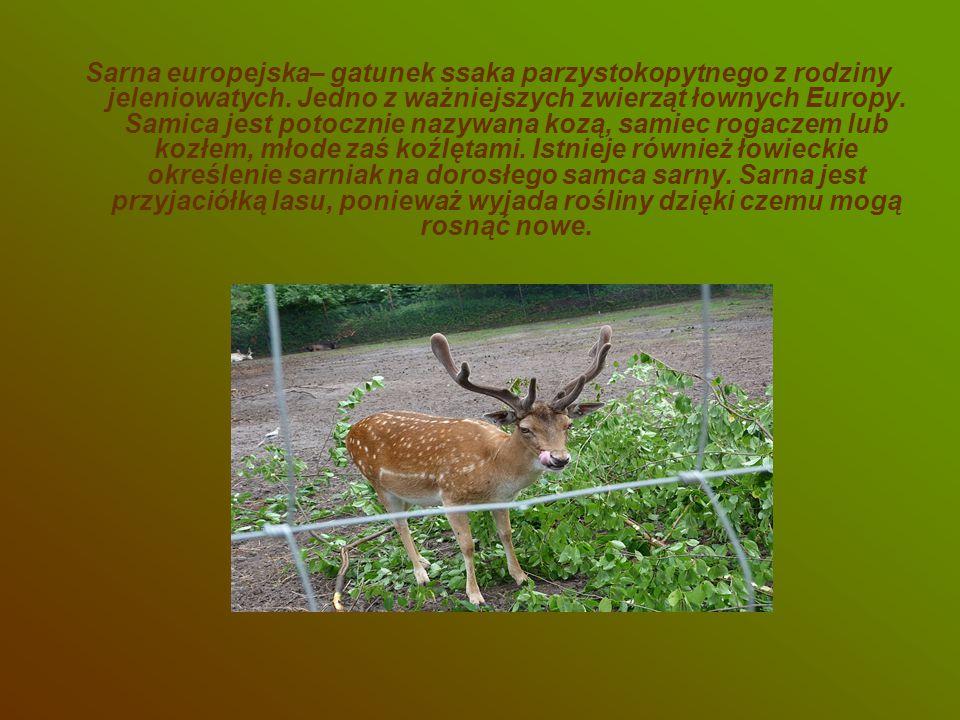 Sarna europejska– gatunek ssaka parzystokopytnego z rodziny jeleniowatych.