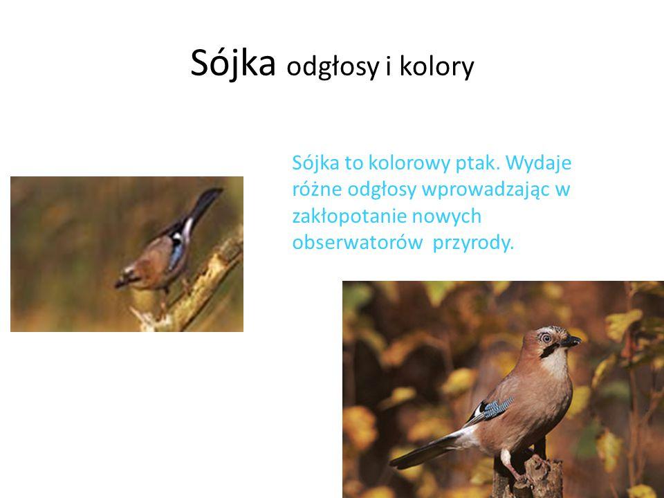Sójka odgłosy i kolory Sójka to kolorowy ptak.