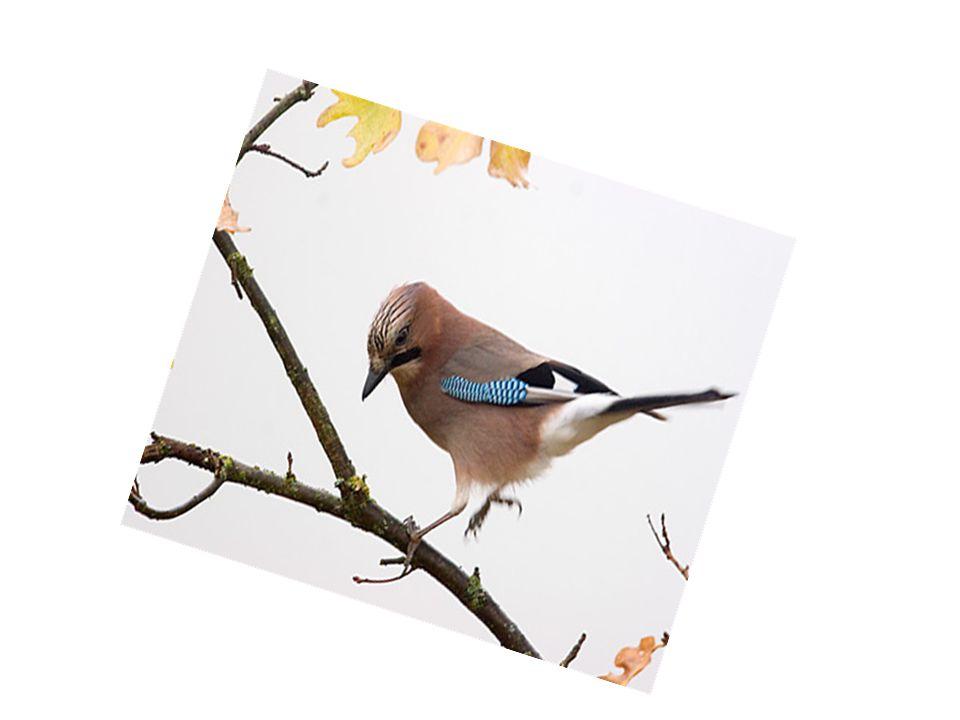 Sójki to piękne ptaki.