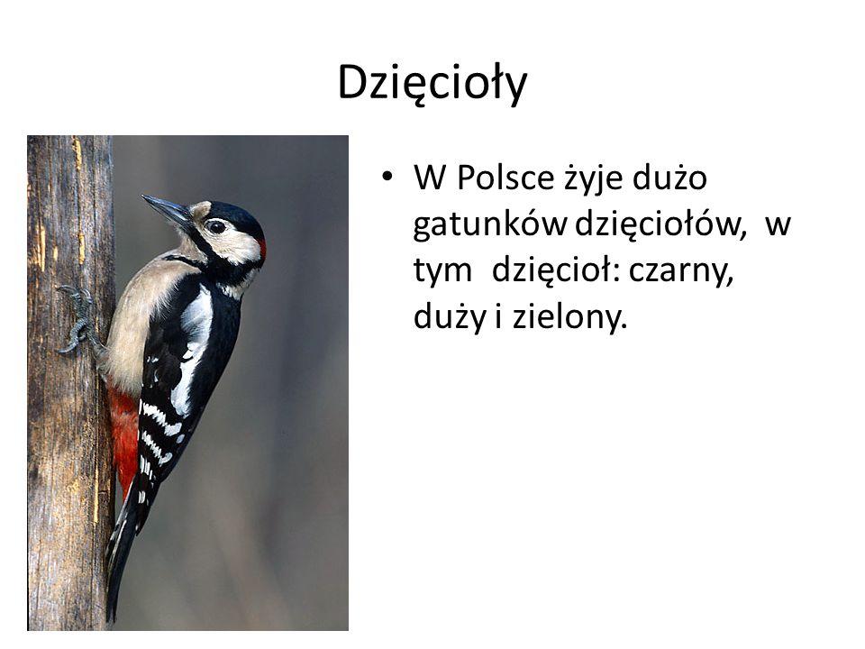 Dzięcioły W Polsce żyje dużo gatunków dzięciołów, w tym dzięcioł: czarny, duży i zielony.