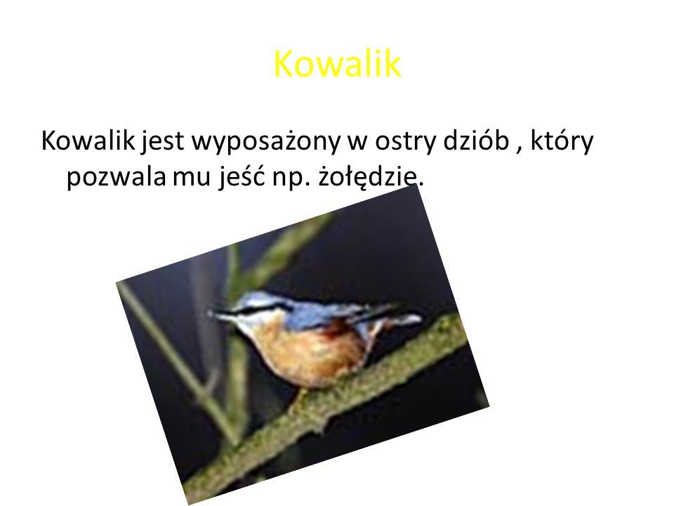 Kowalik Kowalik jest wyposażony w ostry dziób , który pozwala mu jeść np. żołędzie.