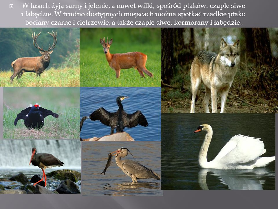 W lasach żyją sarny i jelenie, a nawet wilki, spośród ptaków: czaple siwe i łabędzie.