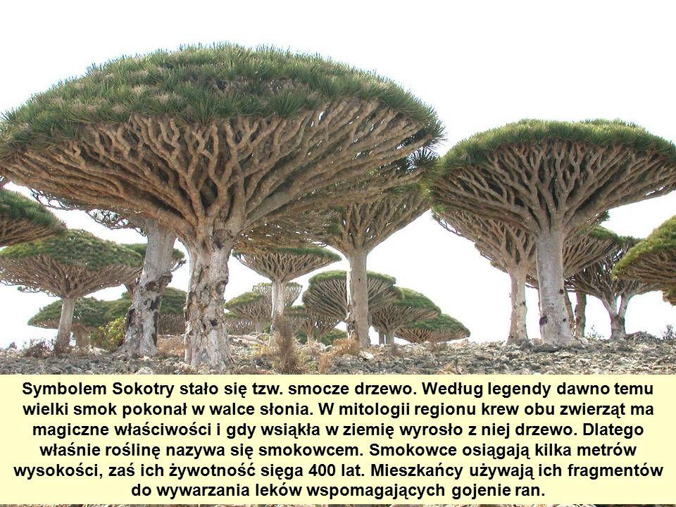 Symbolem Sokotry stało się tzw. smocze drzewo