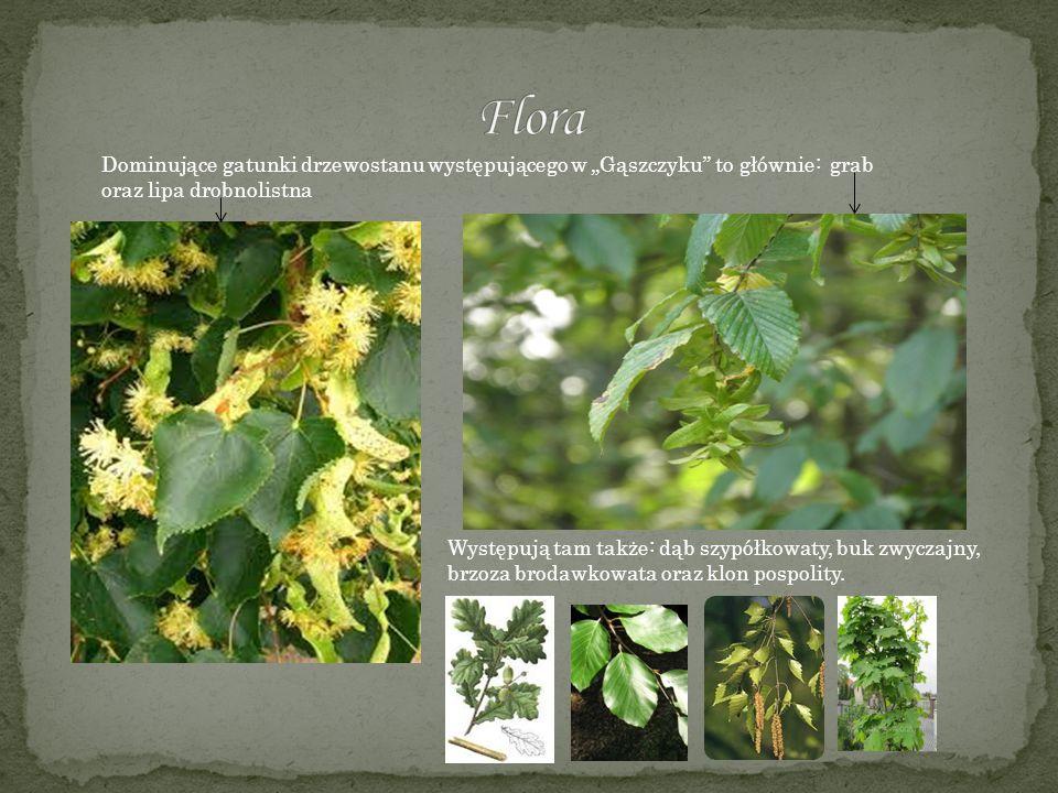 """Flora Dominujące gatunki drzewostanu występującego w """"Gąszczyku to głównie: grab. oraz lipa drobnolistna."""