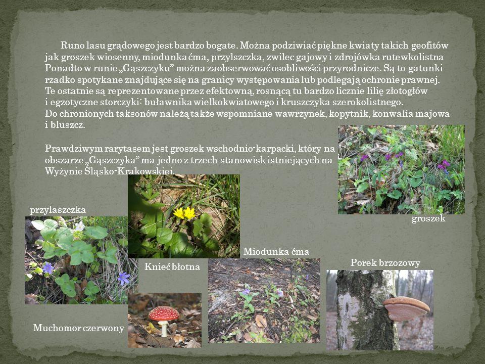 Runo lasu grądowego jest bardzo bogate