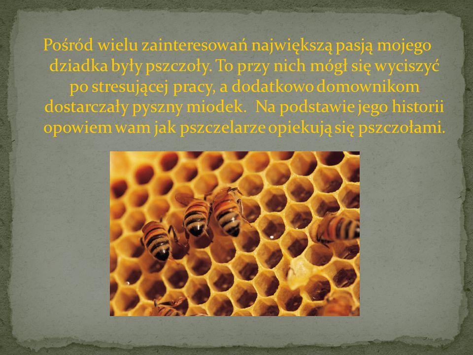 Pośród wielu zainteresowań największą pasją mojego dziadka były pszczoły.