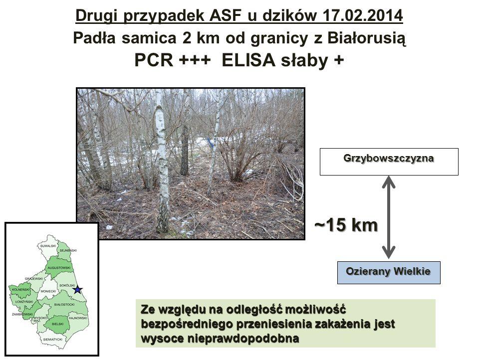 PCR +++ ELISA słaby + ~15 km Drugi przypadek ASF u dzików 17.02.2014