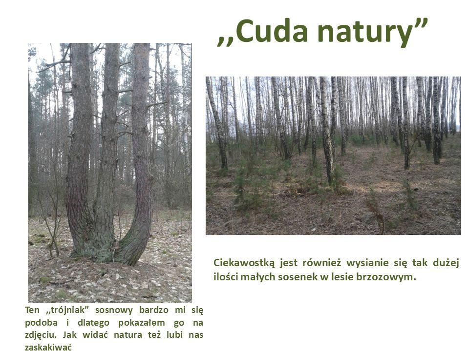 ,,Cuda natury Ciekawostką jest również wysianie się tak dużej ilości małych sosenek w lesie brzozowym.