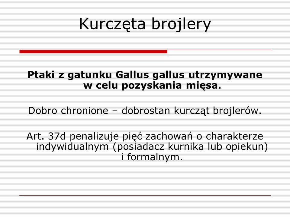 Ptaki z gatunku Gallus gallus utrzymywane w celu pozyskania mięsa.