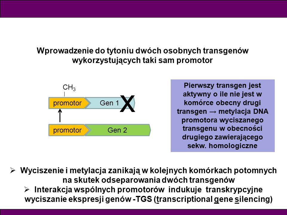 Wprowadzenie do tytoniu dwóch osobnych transgenów wykorzystujących taki sam promotor