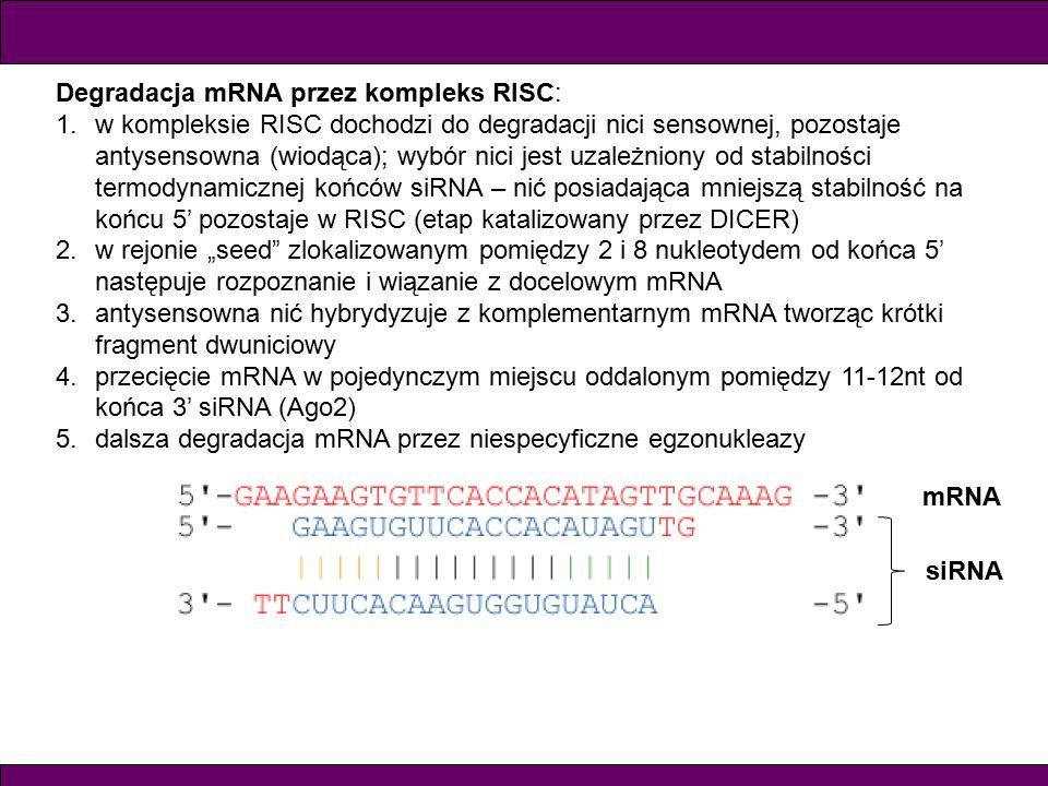 Degradacja mRNA przez kompleks RISC: