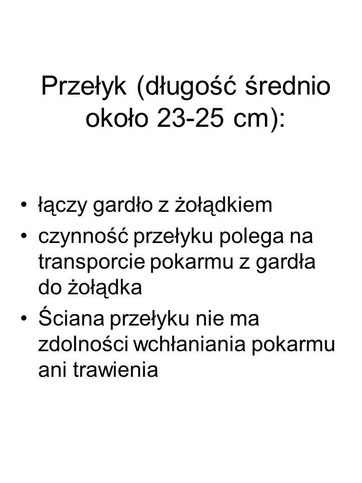 Przełyk (długość średnio około 23-25 cm):