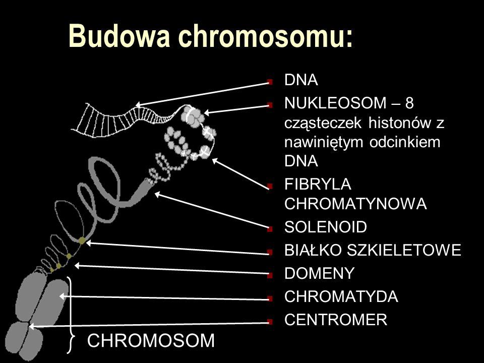Budowa chromosomu: CHROMOSOM DNA