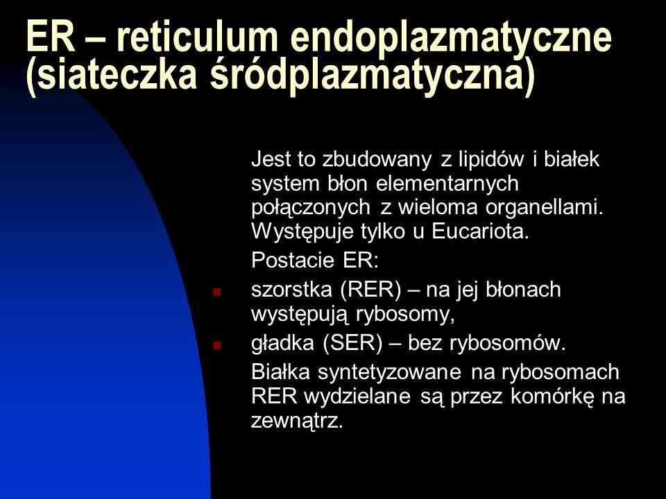 ER – reticulum endoplazmatyczne (siateczka śródplazmatyczna)