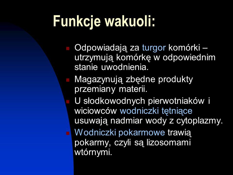 Funkcje wakuoli: Odpowiadają za turgor komórki – utrzymują komórkę w odpowiednim stanie uwodnienia.