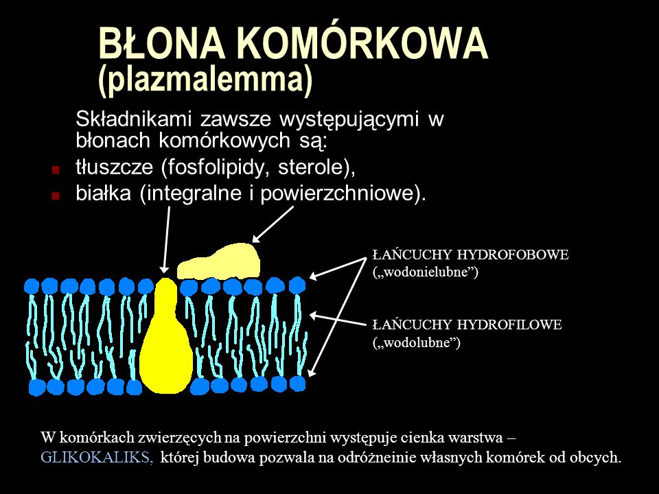 BŁONA KOMÓRKOWA (plazmalemma)