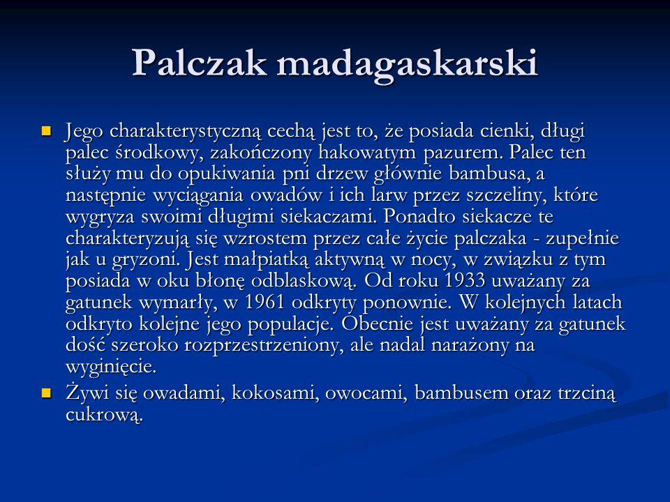 Palczak madagaskarski
