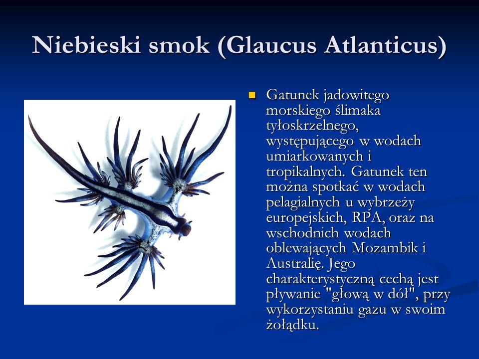 Niebieski smok (Glaucus Atlanticus)