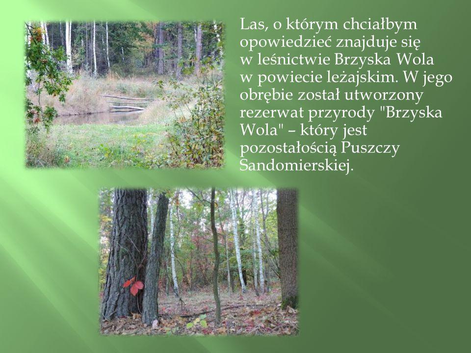 Las, o którym chciałbym opowiedzieć znajduje się w leśnictwie Brzyska Wola w powiecie leżajskim.