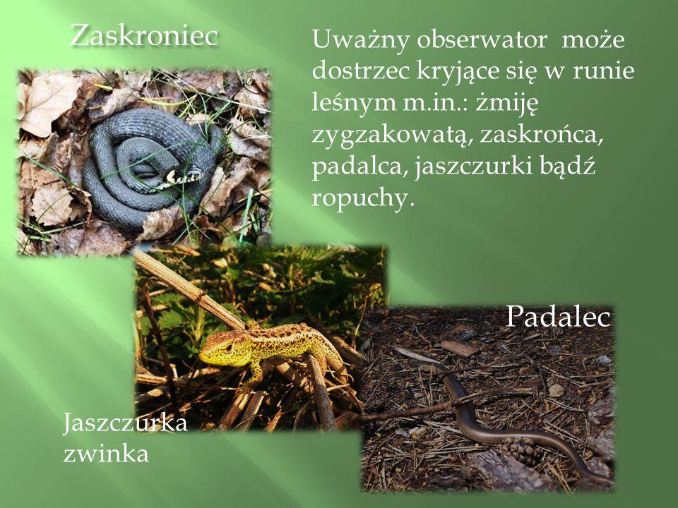 Zaskroniec Uważny obserwator może dostrzec kryjące się w runie leśnym m.in.: żmiję zygzakowatą, zaskrońca, padalca, jaszczurki bądź ropuchy.