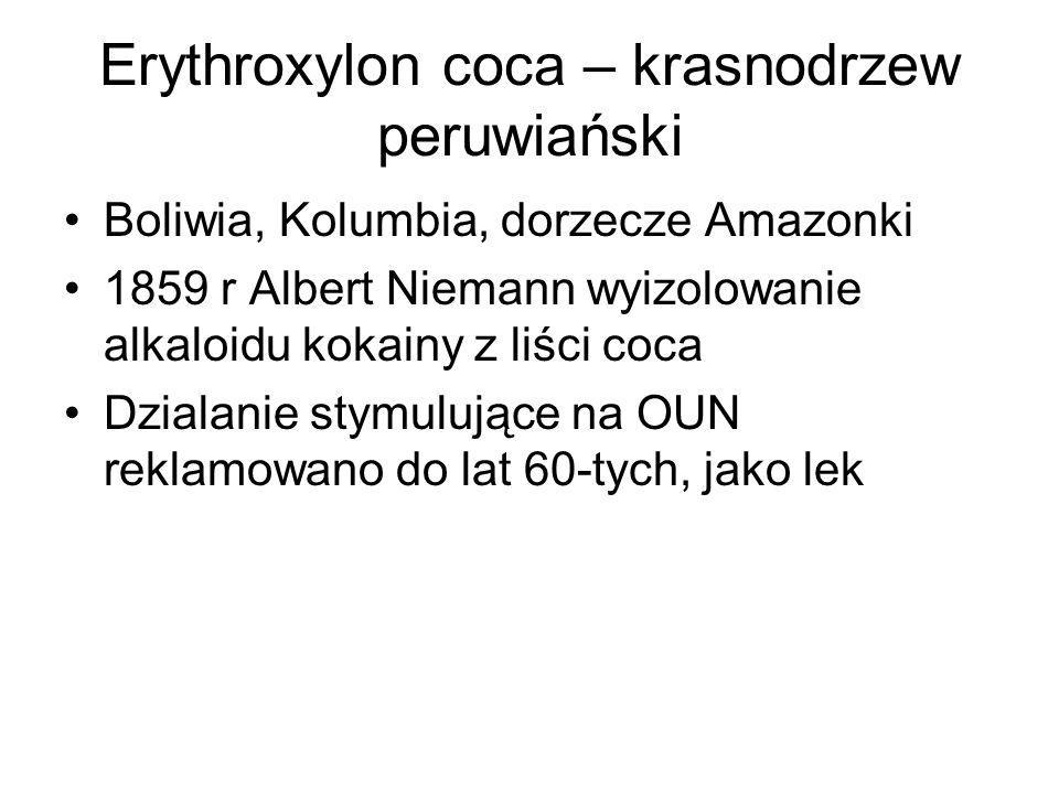 Erythroxylon coca – krasnodrzew peruwiański