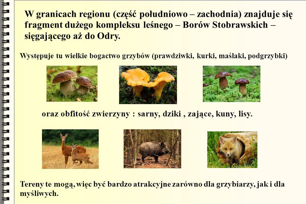 W granicach regionu (część południowo – zachodnia) znajduje się fragment dużego kompleksu leśnego – Borów Stobrawskich – sięgającego aż do Odry.