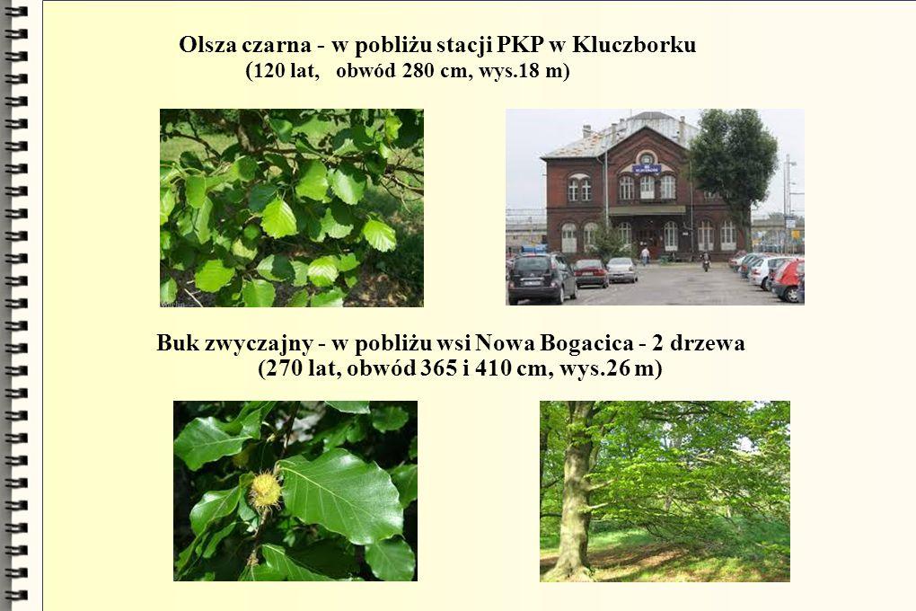 Olsza czarna - w pobliżu stacji PKP w Kluczborku
