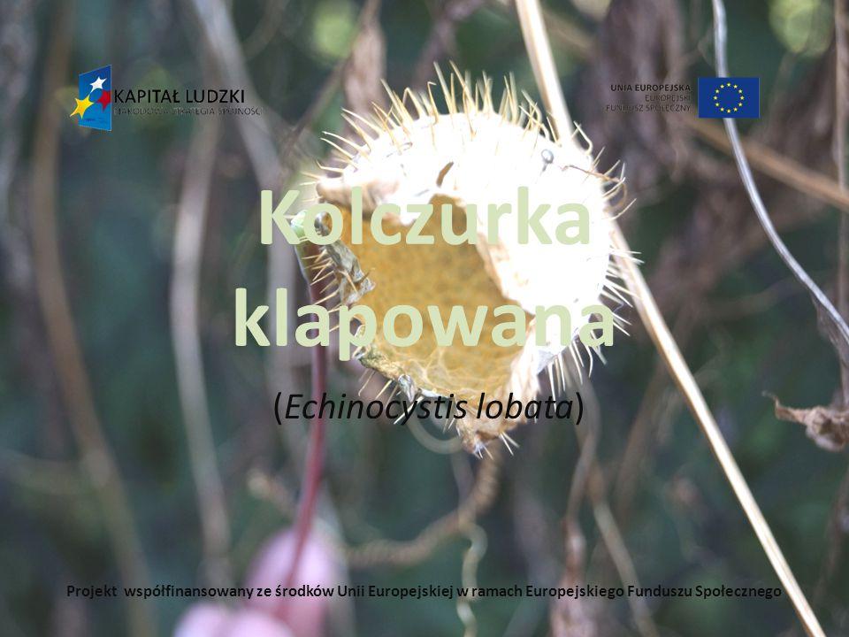 (Echinocystis lobata)