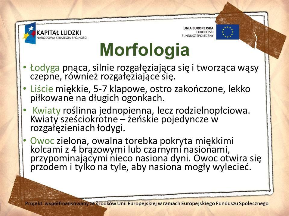 Morfologia Łodyga pnąca, silnie rozgałęziająca się i tworząca wąsy czepne, również rozgałęziające się.