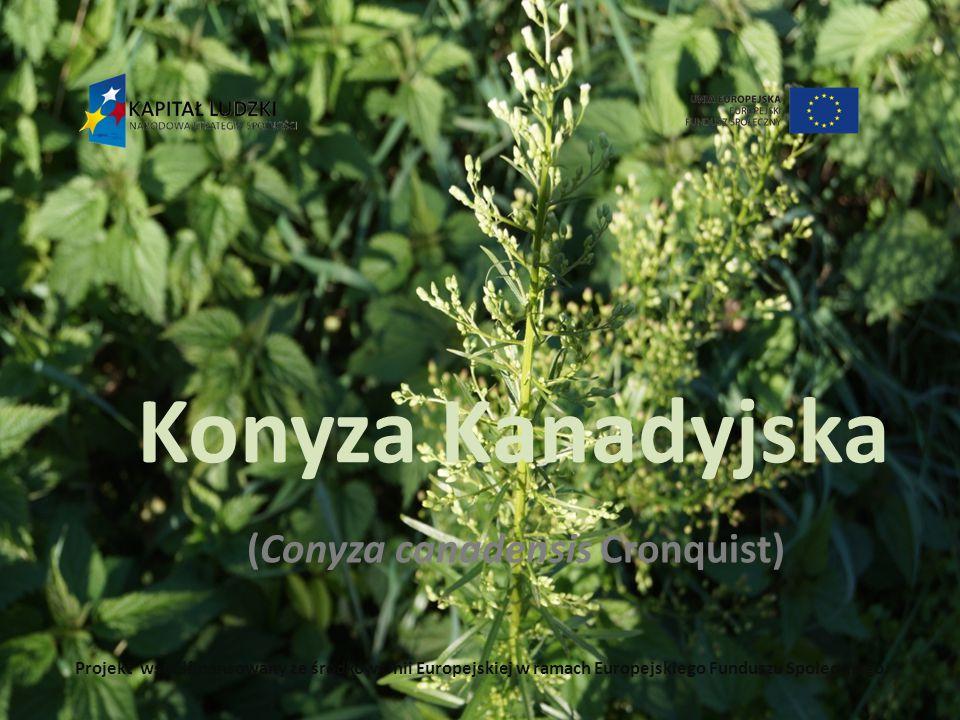 (Conyza canadensis Cronquist)