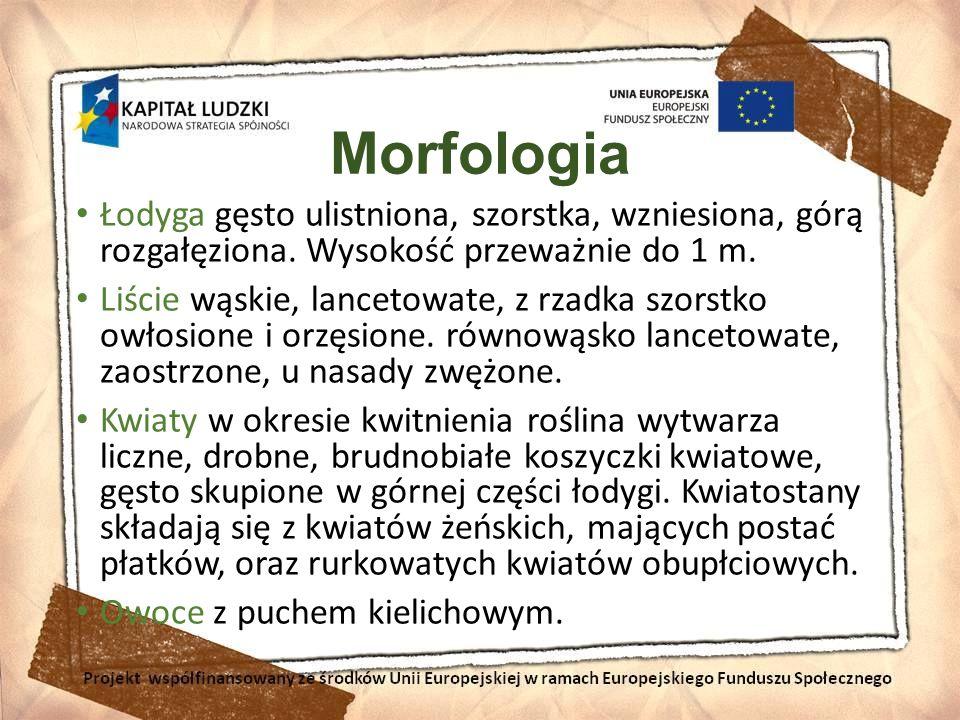 Morfologia Łodyga gęsto ulistniona, szorstka, wzniesiona, górą rozgałęziona. Wysokość przeważnie do 1 m.