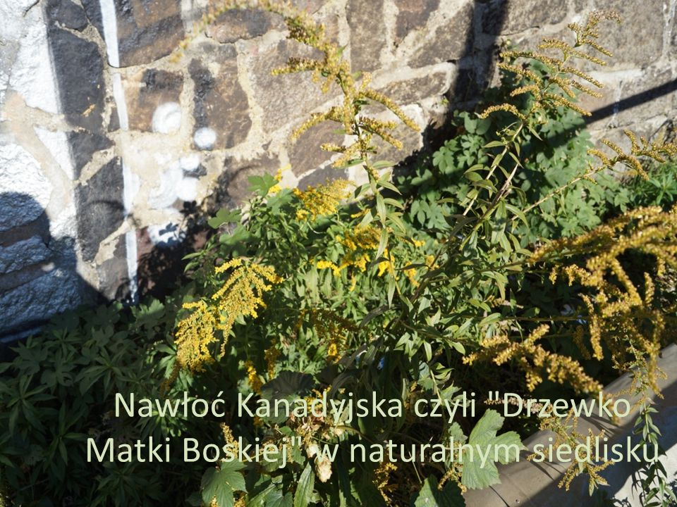 Nawłoć Kanadyjska czyli Drzewko Matki Boskiej w naturalnym siedlisku