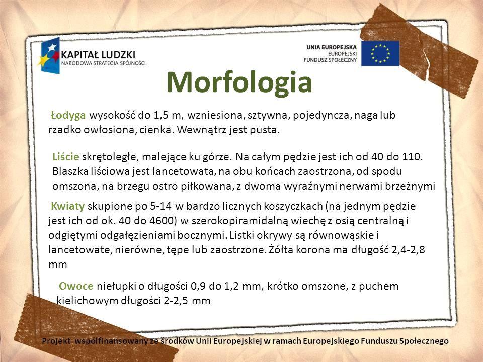 Morfologia Łodyga wysokość do 1,5 m, wzniesiona, sztywna, pojedyncza, naga lub rzadko owłosiona, cienka. Wewnątrz jest pusta.