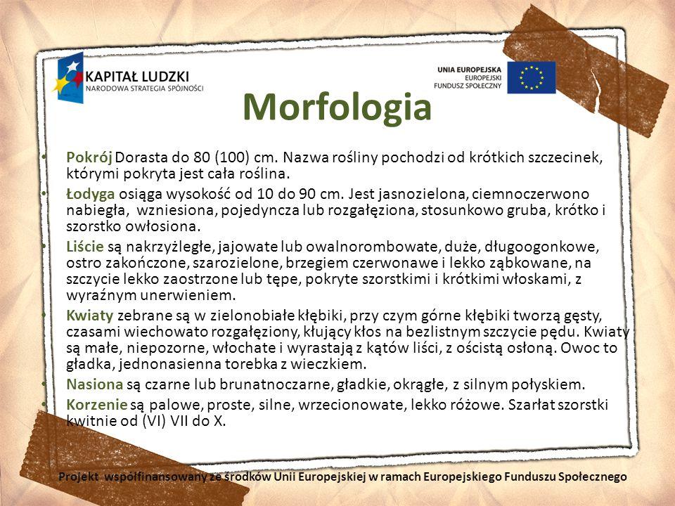 Morfologia Pokrój Dorasta do 80 (100) cm. Nazwa rośliny pochodzi od krótkich szczecinek, którymi pokryta jest cała roślina.