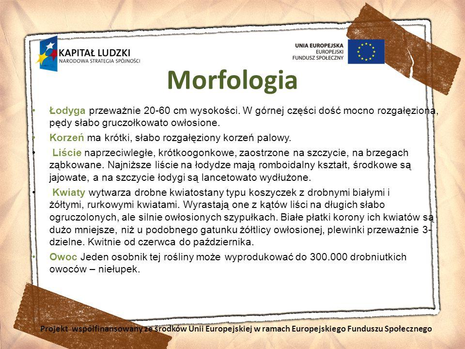 Morfologia Łodyga przeważnie 20-60 cm wysokości. W górnej części dość mocno rozgałęziona, pędy słabo gruczołkowato owłosione.