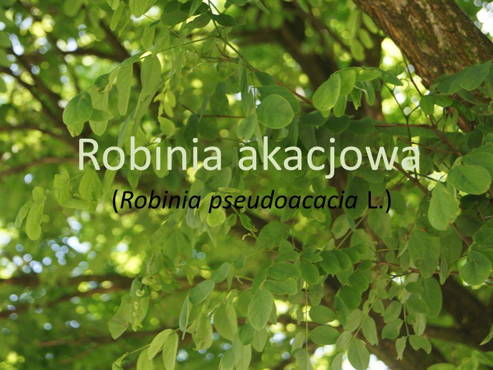 Robinia akacjowa (Robinia pseudoacacia L.)