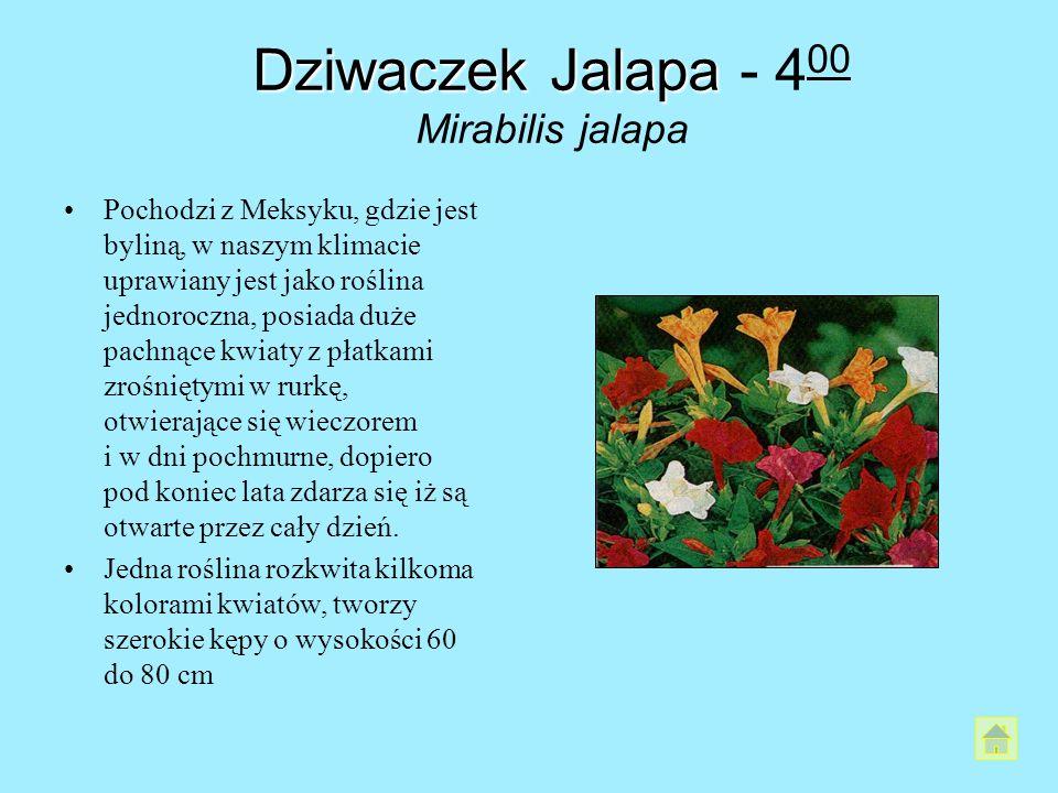 Dziwaczek Jalapa - 400 Mirabilis jalapa