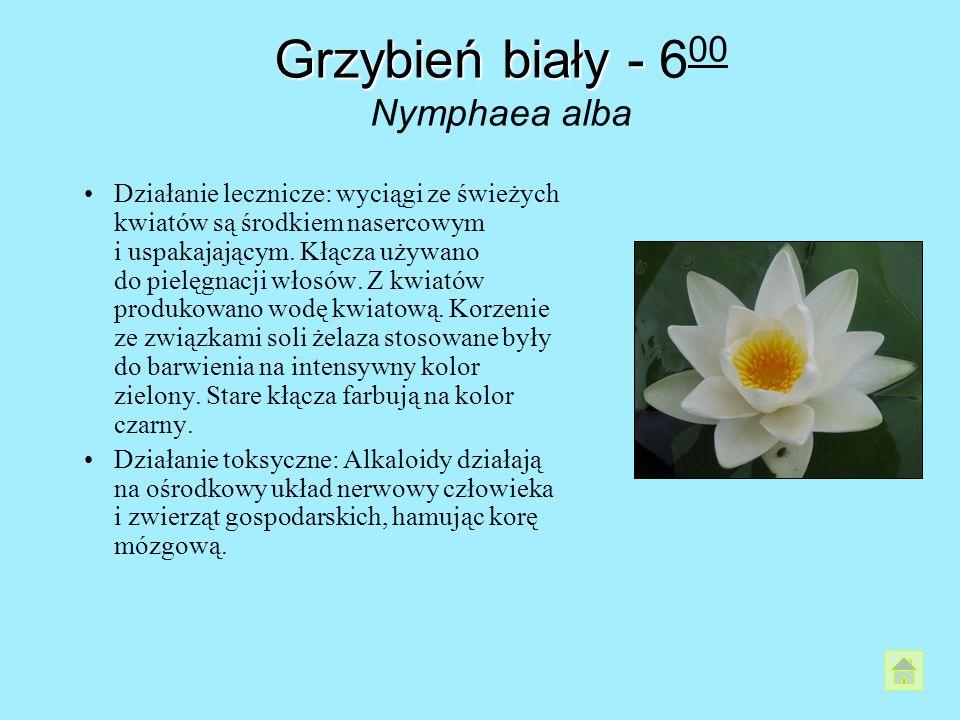 Grzybień biały - 600 Nymphaea alba