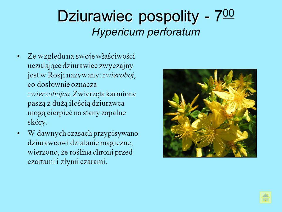 Dziurawiec pospolity - 700 Hypericum perforatum