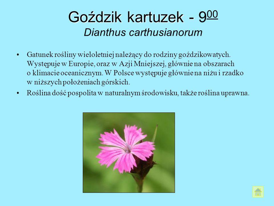Goździk kartuzek - 900 Dianthus carthusianorum