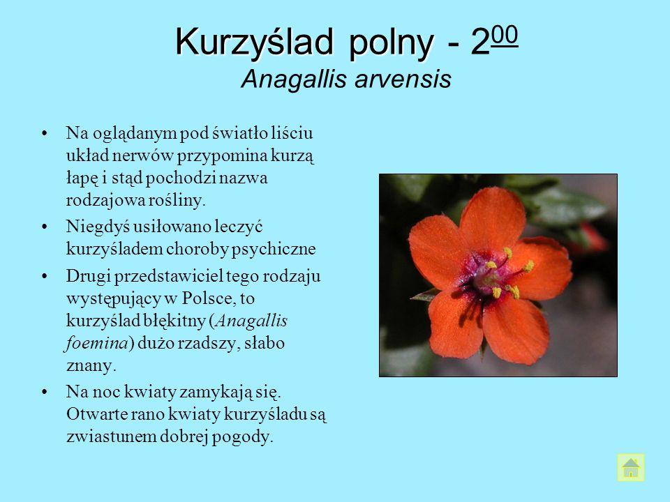 Kurzyślad polny - 200 Anagallis arvensis